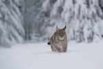 Обои Рысь идет по снегу