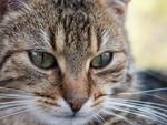 Обои Мордочка кота крупным планом, фотограф Krzysztof Kowalik