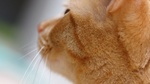 Обои Морда рыжего кота с длинными усами крупным планом