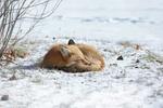 Обои Лиса спит на снегу