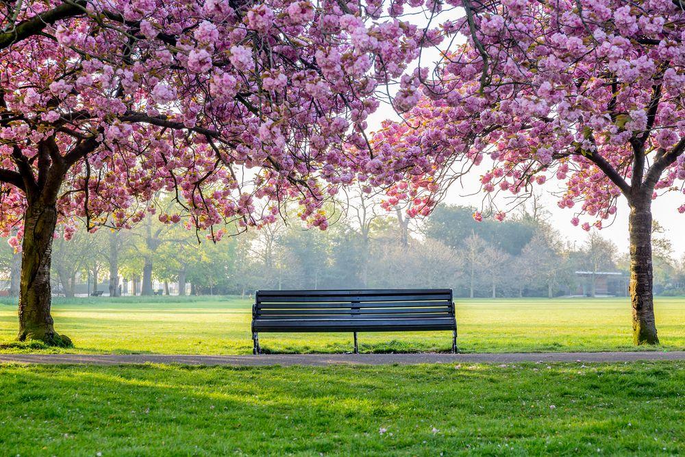 Обои для рабочего стола Цветущая весенняя сакура в парке около скамейки, Japan / Япония