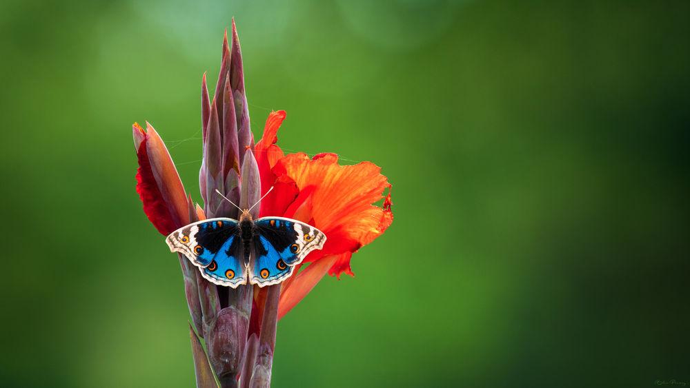 Обои для рабочего стола Красивая голубая бабочка на цветке, by Sunil