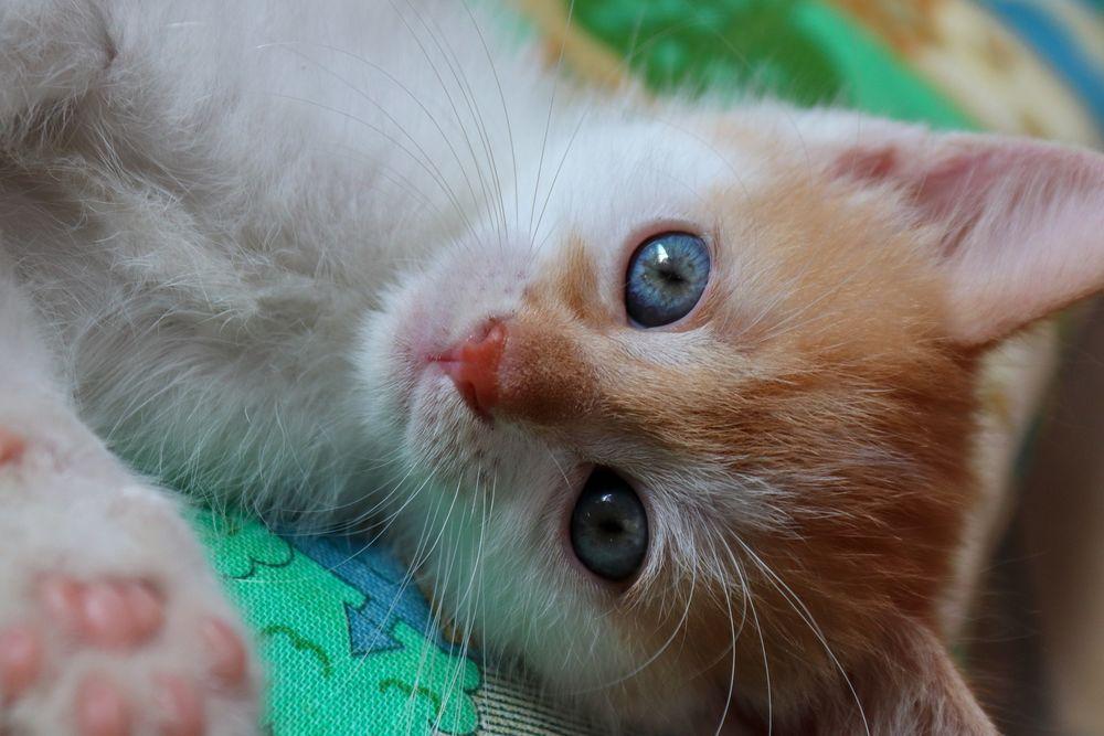 Обои для рабочего стола Милый бело-рыжий котенок с голубыми глазами