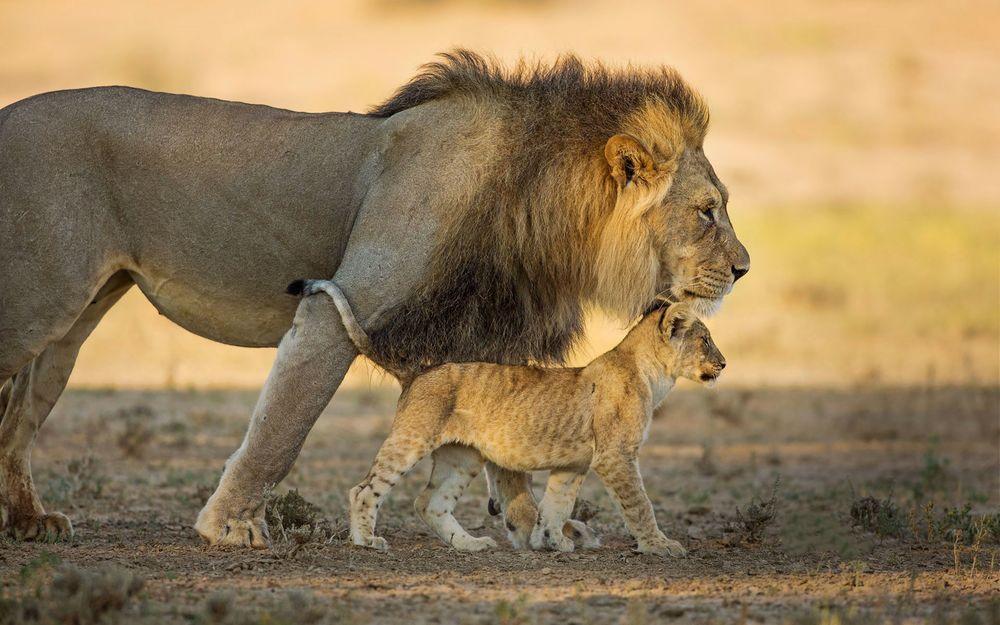 Обои для рабочего стола Лев и львенок идут по саванне
