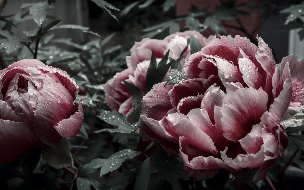Обои для рабочего стола Розовые пионы в каплях росы