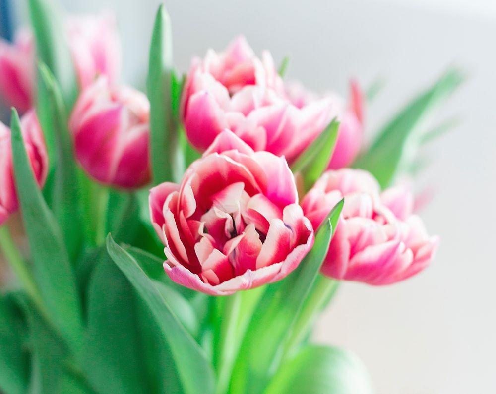 Обои для рабочего стола Розовые тюльпаны на размытом фоне. Фотограф Uljana Maljutina