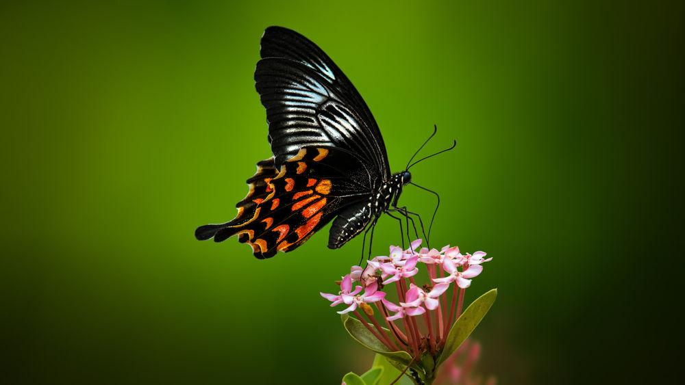 Обои для рабочего стола Бабочка на цветке, фотограф Sunil