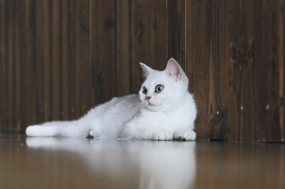 Обои для рабочего стола Белая кошка лежит на полу