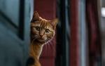Обои Выглядывающий рыжий кот, фотограф David Peters