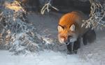 Обои Рыжая лиса на снегу, by Roberto Marchegiani