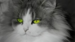 Обои Кот с красивыми зелеными глазами