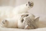 Обои Белый кот лежит на спине, подняв лапки