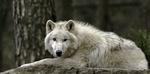 Обои Белый волк лежит на камне, фотограф Fritz Zachow