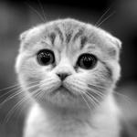 Обои Мордочка вислоухого кота