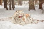 Обои Девушка Алена и тигр на снегу, by Svetlana Nikotina