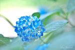 Обои Голубая гортензия на размытом фоне, by Ben Yamada
