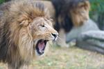 Обои Лев с открытой пастью