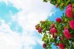 Обои Розовые розы на фоне облачного неба