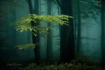Обои Весенний зеленеющий лес в тумане, by Inge Bovens