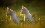 Обои Два белых котенка в траве, фотограф Gabriel Prescornita