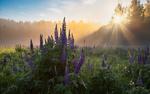 Обои Лучи солнца, сквозь туман, освещают заросли люпинов, фотограф Ерохин Евгений