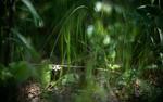Обои Цветы лесной земляники в высокой траве, фотограф Курлов Алексей