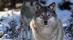 Обои Матерый серый волк стоит на фоне зимней природы и смотрит в камеру