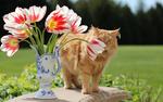 Обои Рыжая кошка стоит у вазы с тюльпанами