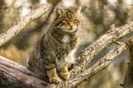 Обои Дикий камышовый кот сидит на ветке сухого дерева