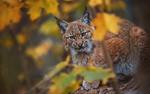 Обои Рысь за осенней листвой, фотограф Ondrej Chvаtal
