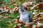 Обои Котенок смотрит в сторону, отдыхая на земле среди опавших осенних листьев