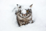 Обои Кошка в снегу, фотограф Elvira Zakharova