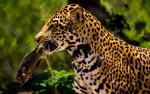 Обои Ягуар с рыбой в пасти на природе, фотограф Mark Ritter