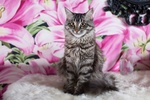 Обои Серая кошка сидит на фоне цветов, фотограф Elvira Zakharova