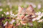Обои Полосатая кошка среди белых цветов