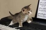 Обои Котенок идет по клавишам синтезатора