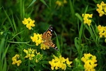Обои Бабочка сидит на желтом цветке. Фотограф Никишин Евгений