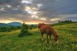 Обои Лошади на цветочном лугу, фотограф Никишин Евгений