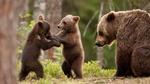 Обои Медведица смотрит на медвежат