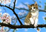 Обои Котенок сидит на ветке цветущей сакуры, by junya