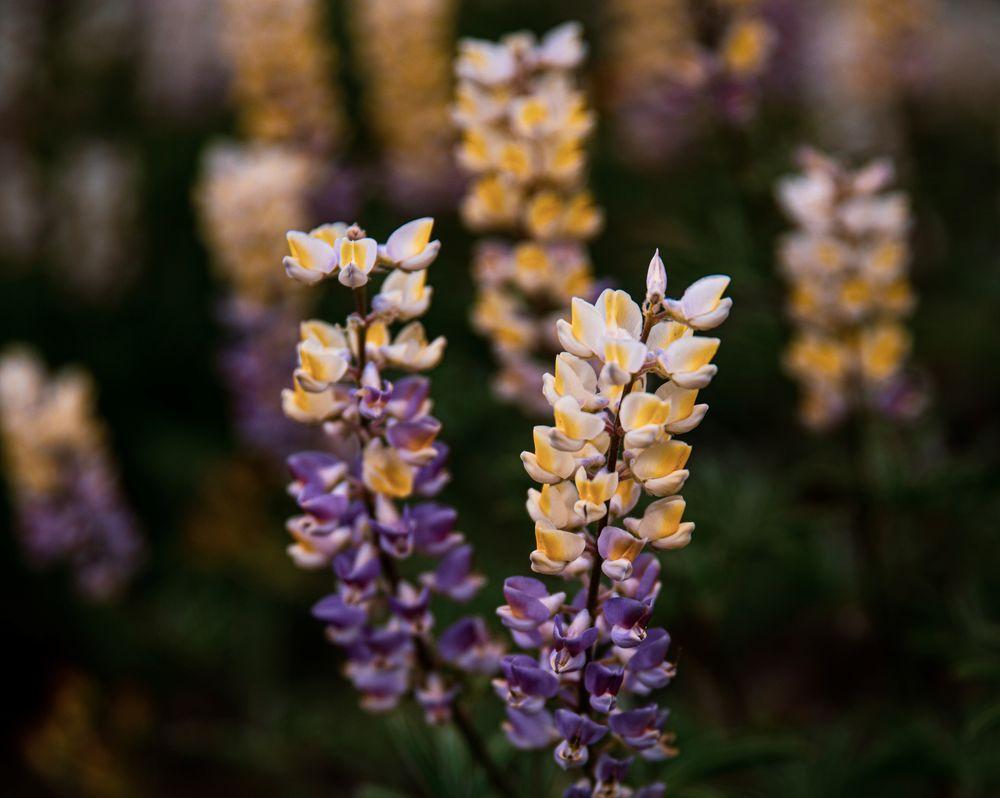 Обои для рабочего стола Цветы лаванды, фотограф Patrick Hendry