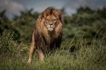 Обои Лев с грозным взглядом стоит в траве и смотрит в камеру