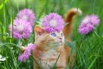Обои Голубоглазый рыжий с белым котенок стоит среди луговых цветов в траве