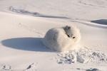 Обои Песец лежит на снегу, свернувшись клубком