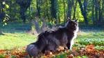 Обои Пушистый серый кот на прогулке в осеннем парке в солнечный день