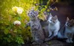 Обои Котята у цветов, фотограф Коротун Юрий