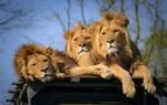 Обои Три льва отдыхают на помосте