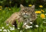 Обои Серая кошка лежит на поляне с одуванчиками и ромашками, фотограф Peter Kоnig