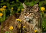 Обои Серая кошка лежит на поляне с одуванчиками, фотограф Peter Kоnig