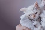 Обои Гималайская кошка, завернутая в полотенце
